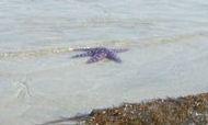 Starfish1a